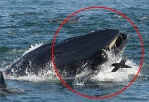 """Ingoiato da una gigantesca balena, viene """"risputato"""" fuori e si salva"""